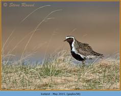 golden-plover-58.jpg