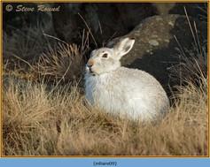 mountain-hare-09.jpg
