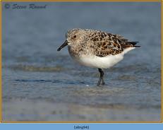 sanderling-94.jpg