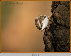 treecreeper-24.jpg