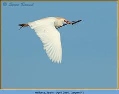 cattle-egret-64.jpg