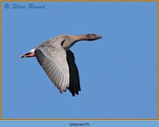 pink-footed-goose-73.jpg