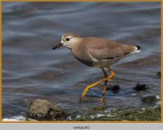 white-tailed-lapwing-36.jpg