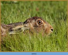 brown-hare-93.jpg