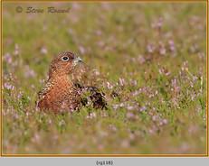 red-grouse-118.jpg