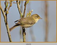 willow-warbler-30.jpg