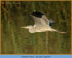 grey-heron-70.jpg
