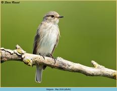 spotted-flycatcher-46.jpg