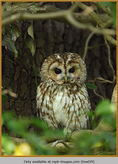 tawny-owl-29.jpg