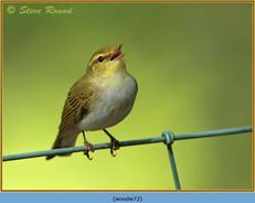 wood-warbler-72.jpg