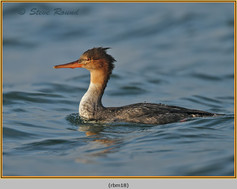 red-breasted-merganser-18.jpg