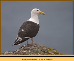 gt-b-backed-gull-01.jpg