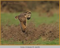 short-eared-owl-34.jpg
