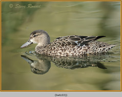 blue-winged-teal-03c.jpg