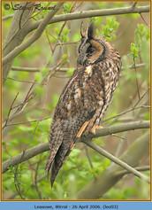 long-eared-owl-03.jpg