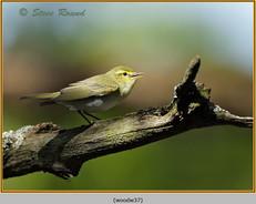wood-warbler-37.jpg