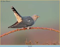 cuckoo-162.jpg