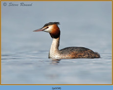 great-crested-grebe-58.jpg