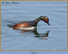 black-necked-grebe-17.jpg