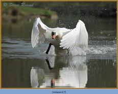 mute-swan-27.jpg