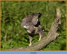 buzzard- 64.jpg