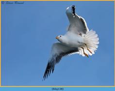 lesser-black-backed-gull-138.jpg