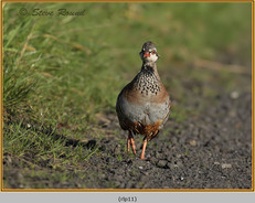 red-legged-partridge-11.jpg