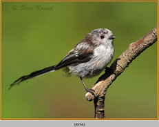 long-tailed-tit-54.jpg
