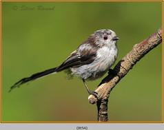 long-tailed-tit-54.jpg