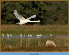 mute-swan-33.jpg