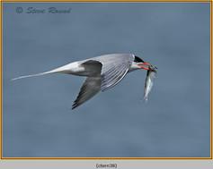 common-tern-38.jpg