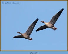 pink-footed-goose-46.jpg