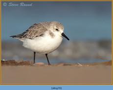 sanderling-70.jpg