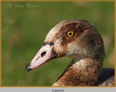egyptian-goose-10.jpg