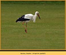 white-stork-07.jpg