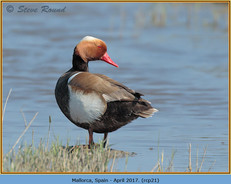 red-crested-pochard-21.jpg