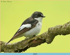 pied-flycatcher-60.jpg