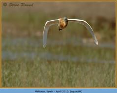 squacco-heron-08.jpg