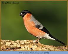 bullfinch-65.jpg