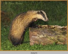 badger-34.jpg