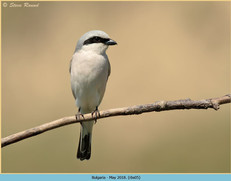red-backed-shrike-05.jpg