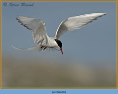 arctic-tern-66.jpg