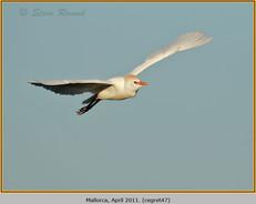cattle-egret-47.jpg