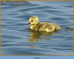 canada-goose-37.jpg