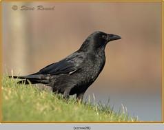 carrion-crow-28.jpg