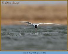 arctic-tern-50.jpg