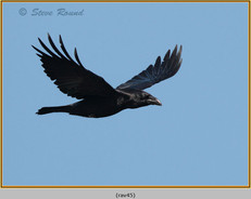 raven-45.jpg