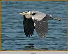 grey-heron-51.jpg