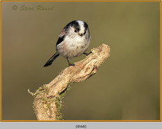 long-tailed-tit-68.jpg