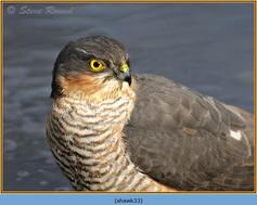 sparrowhawk-33.jpg